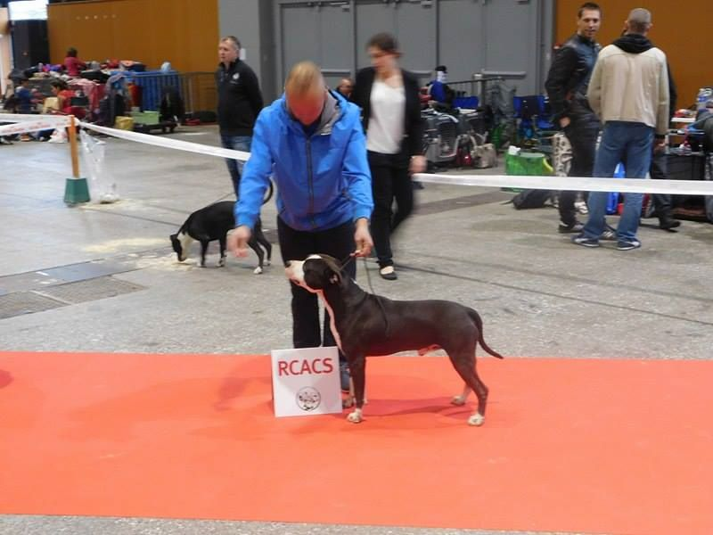 American Staffordshire Terrier - Imon hoteb balkan staff