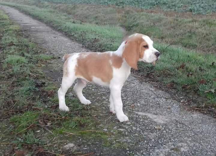Les Beagle de l'affixe of Atomic Dog