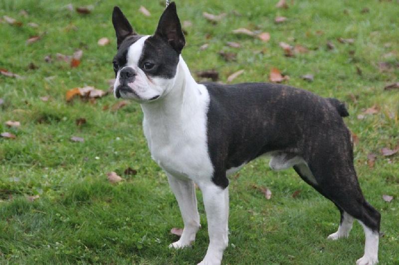 Le Standard de la race Boston Terrier sur Atara.com
