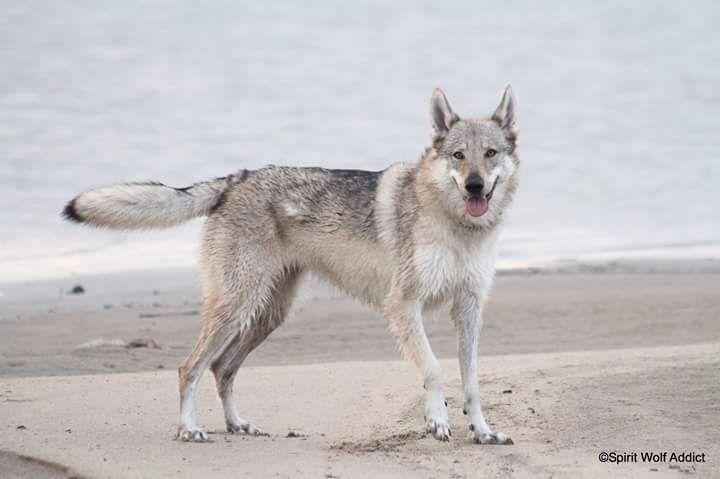 Les Chien-loup tchecoslovaque de l'affixe Spirit Wolf Addict