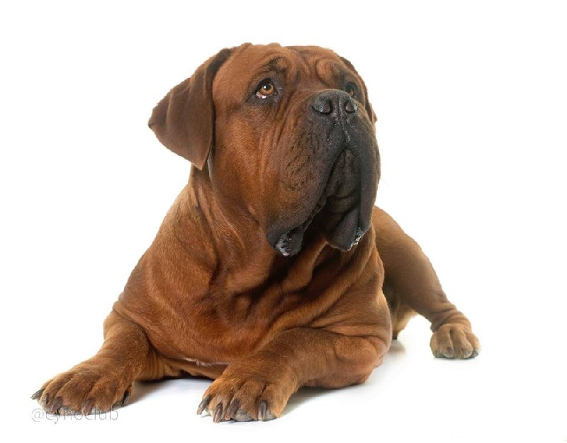 Les Dogue de Bordeaux de l'affixe De l'Empire d'Idefix