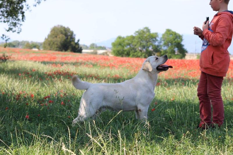 Labrador Retriever - CH. endagora I feel good