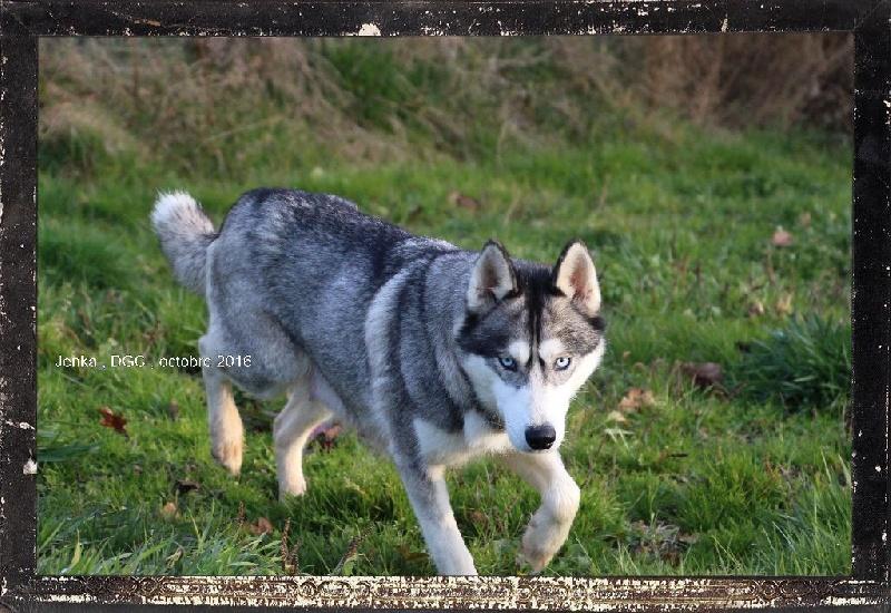 Les Siberian Husky de l'affixe Des guerriers chippewas