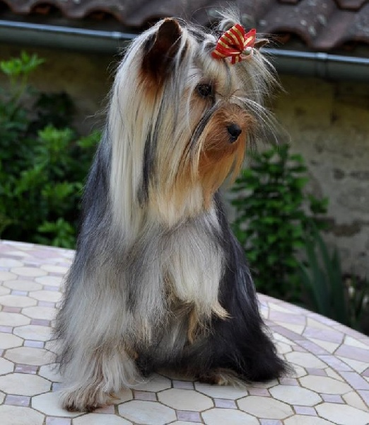 Les Yorkshire Terrier de l'affixe Happily's