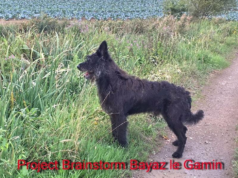 Berger de Picardie - project brainstorm Bayaz le gamin