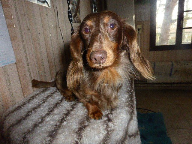 Teckel poil long - Ymir klamap debramon chien
