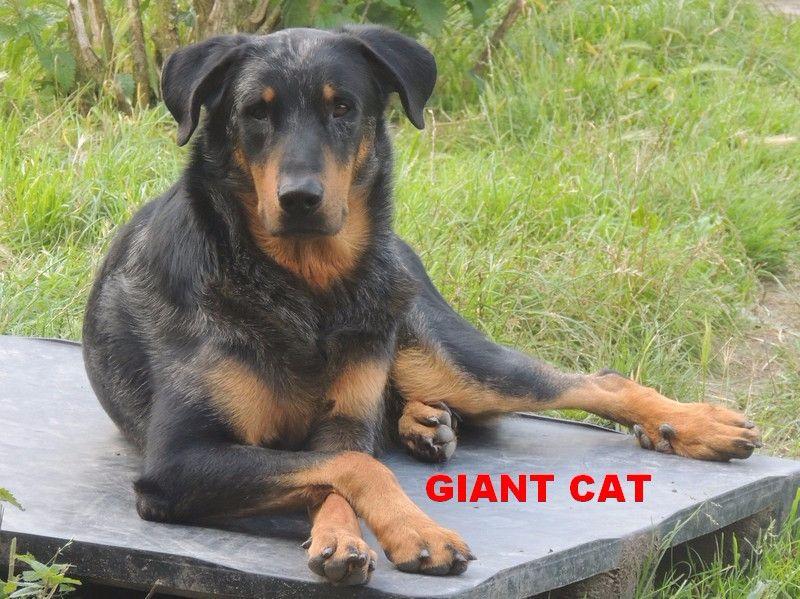 Berger de Beauce - CH. Giant cat argente du mont des croisettes