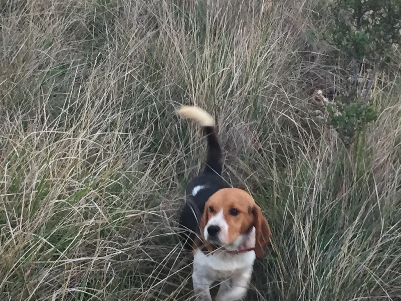 Les Beagle de l'affixe Des Hauts De Milhac