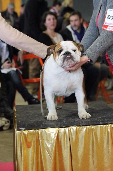 Les Bulldog Anglais de l'affixe Du Manoir De Treguen