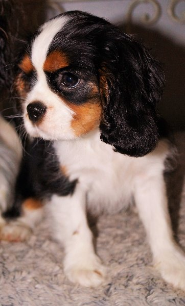 Cavalier King Charles Spaniel - Moonlight shadow castel peyrac