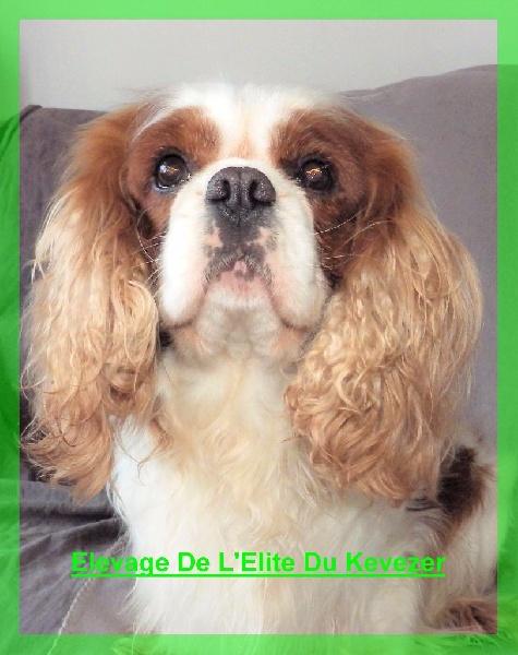 Les Cavalier King Charles Spaniel de l'affixe De L'Elite Du Kevezer