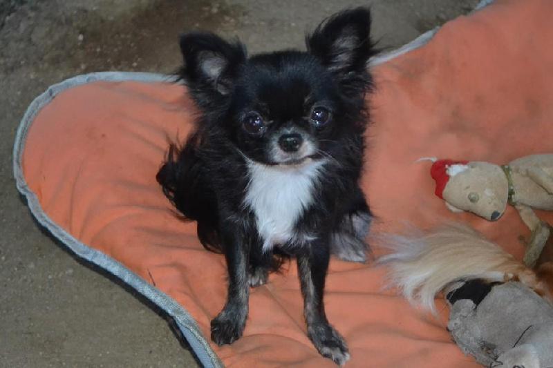 Les Chihuahua de l'affixe Des P'tits Bouts De L'alba