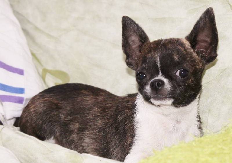 Chihuahua - Manga