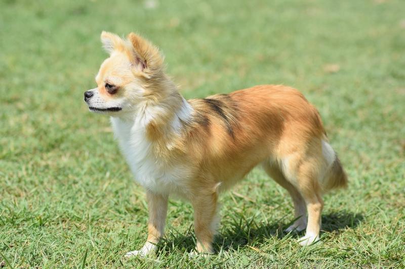 Les Chihuahua de l'affixe Du Mas Ensoleillé