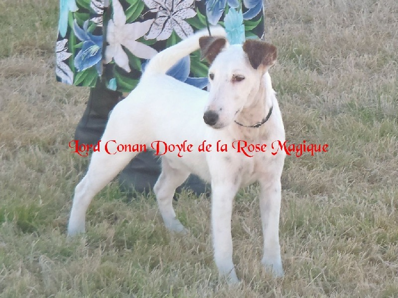 Fox Terrier Poil lisse - Lord conan doyle De la rose magique