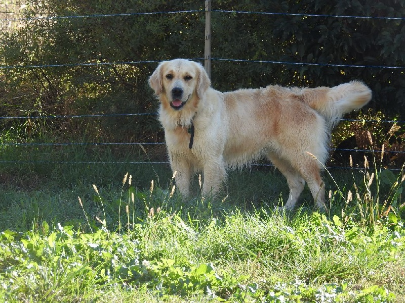 Golden Retriever - Hiska du Chateau de Plaisance