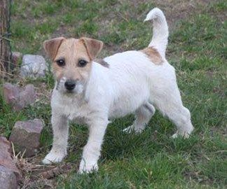 Suzan's Pride Jezabel Jack Russell Terrier