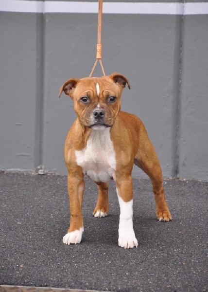 Staffordshire Bull Terrier - brittstaff Poker star