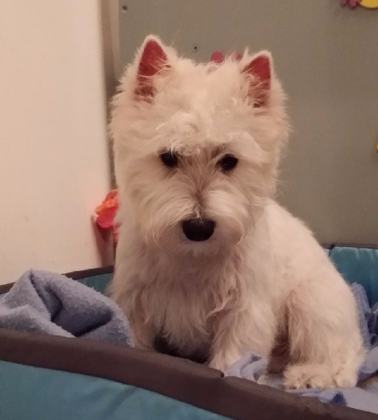 Les West Highland White Terrier de l'affixe Des Sources De La Liane