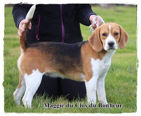 chien elevage du clos du bonheur eleveur de chiens beagle chiot beagle. Black Bedroom Furniture Sets. Home Design Ideas