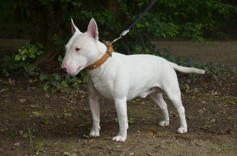 Les Bull Terrier Miniature de l'affixe Des caprices d'athena
