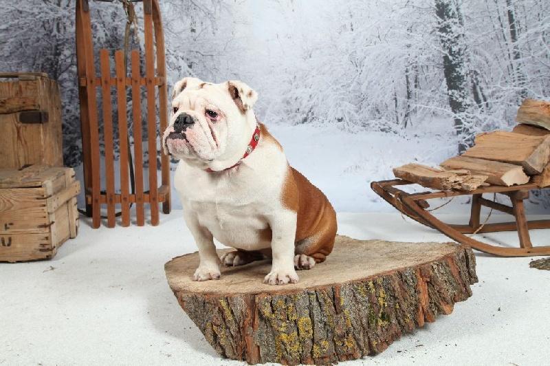 Les Bulldog Anglais de l'affixe Du Domaine Des Chenevières