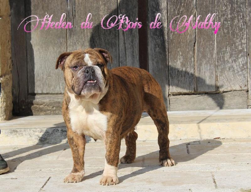 Les Bulldog Anglais de l'affixe Des Terres De Frasnes