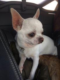 Les Chihuahua de l'affixe Du Domaine De Marine