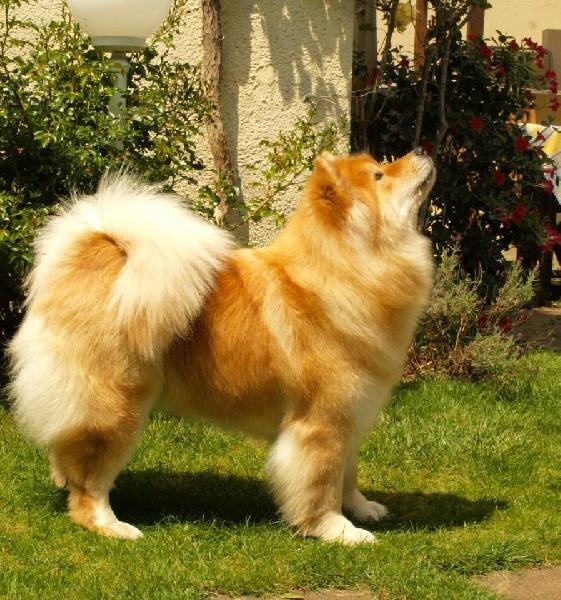 chien elevage au fenua herenui eurasier eleveur de chiens eurasier. Black Bedroom Furniture Sets. Home Design Ideas