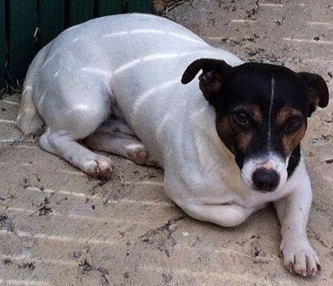 Les Jack Russell Terrier de l'affixe D'amour de la barbottiere