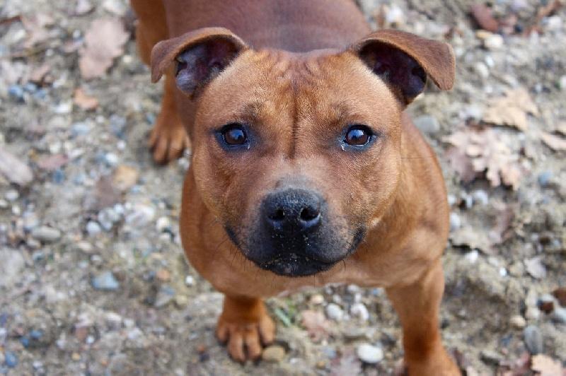 Les Staffordshire Bull Terrier de l'affixe Du Clan Vincenzo