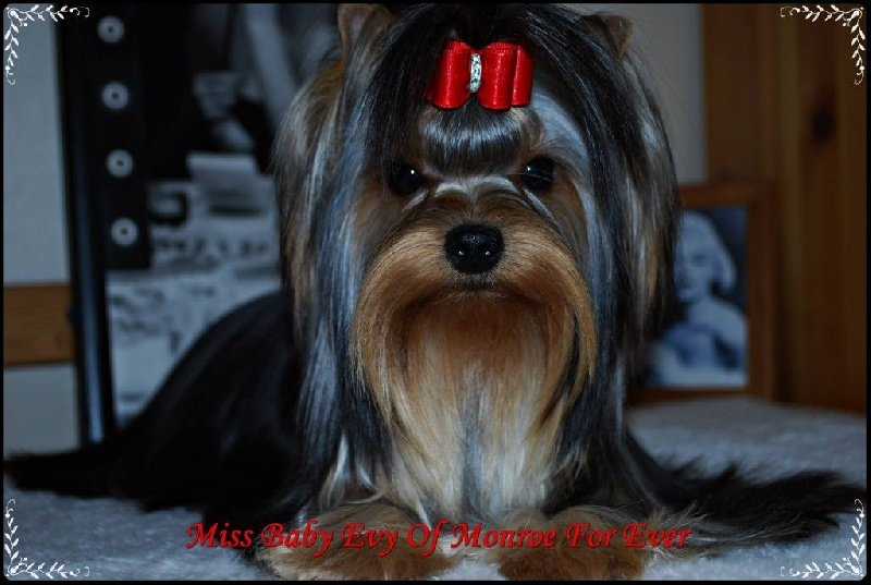 Yorkshire Terrier - Miss baby evy of Monroe For Ever