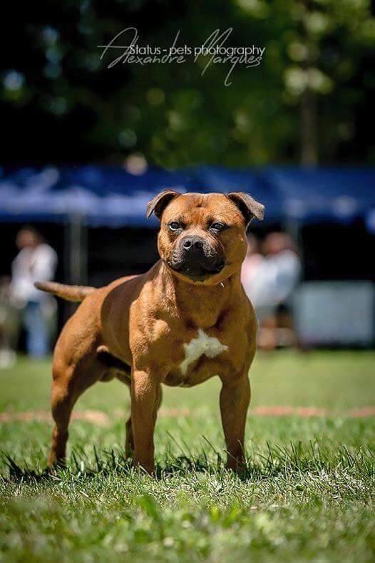 northbull Jch mickey finn chien de race toutes races en