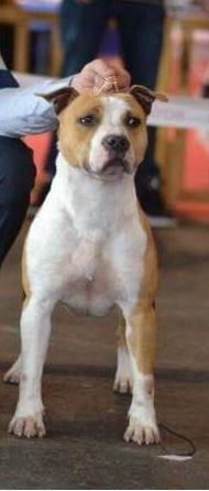 Les American Staffordshire Terrier de l'affixe De L' Entre Des Ghost Riders
