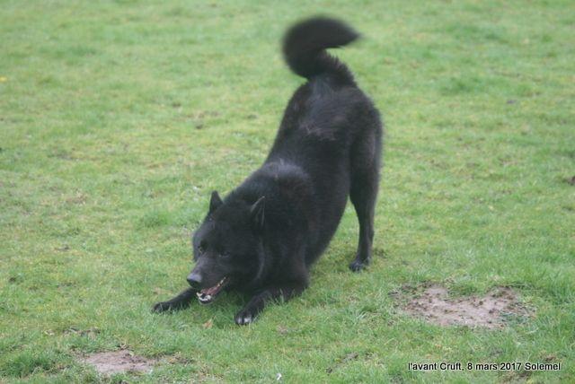 Le Standard de la race Canaan Dog sur Atara.com
