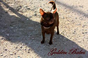 Les Chihuahua de l'affixe Des Petits Tresors D'Azur