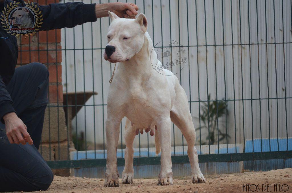Les Dogo Argentino de l'affixe Hnos Del Nilo