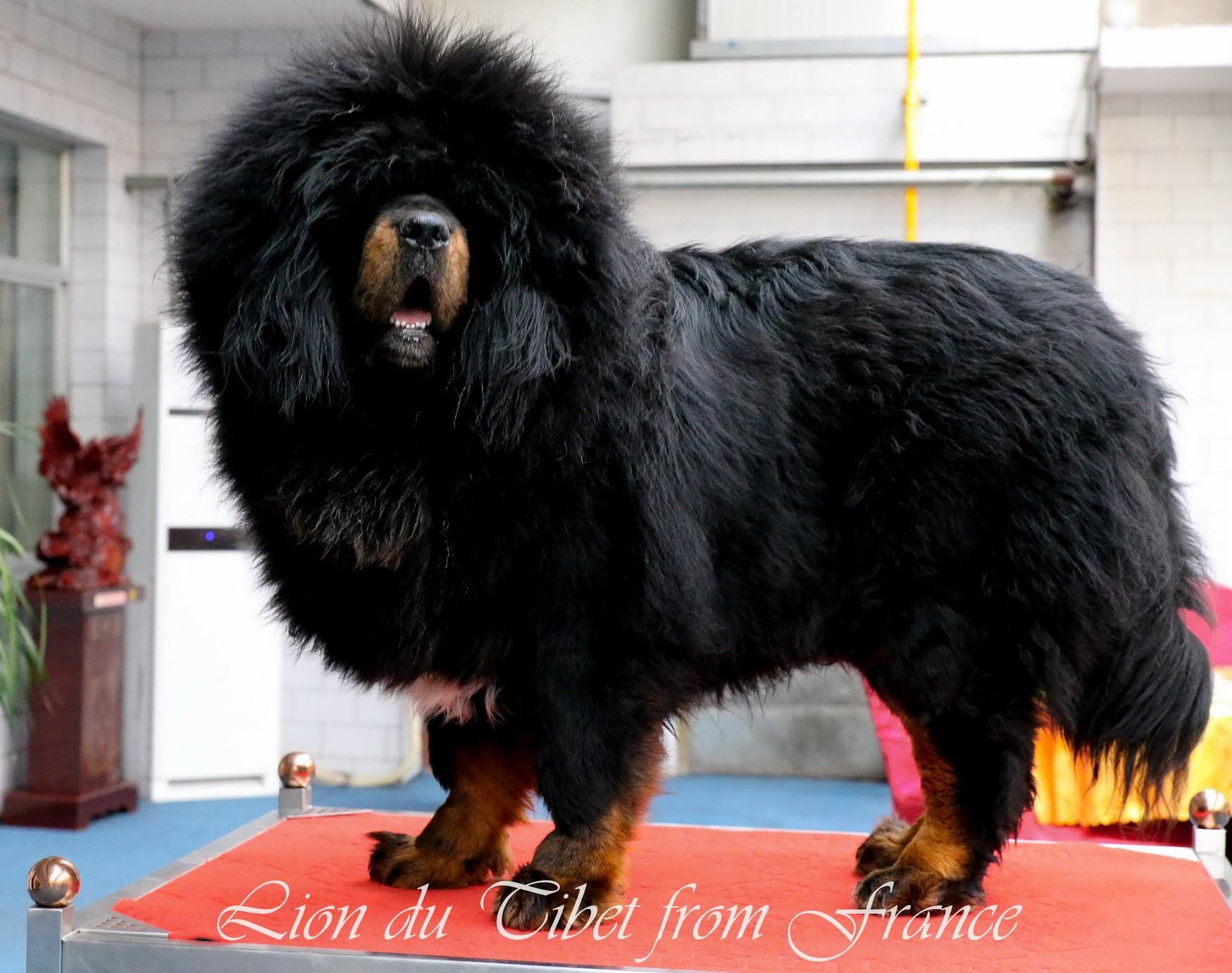 Chien - Elevage Des Lions Du Tibet
