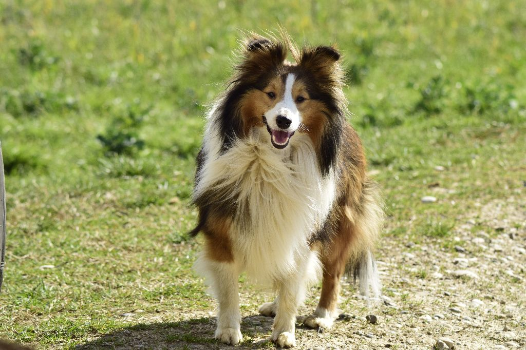 Shetland Sheepdog - Lao tseu seigneur suprême Des mille eclats des tournesol
