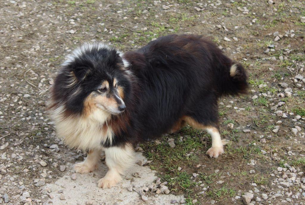 Les Shetland Sheepdog de l'affixe Des dames Chanoinesses