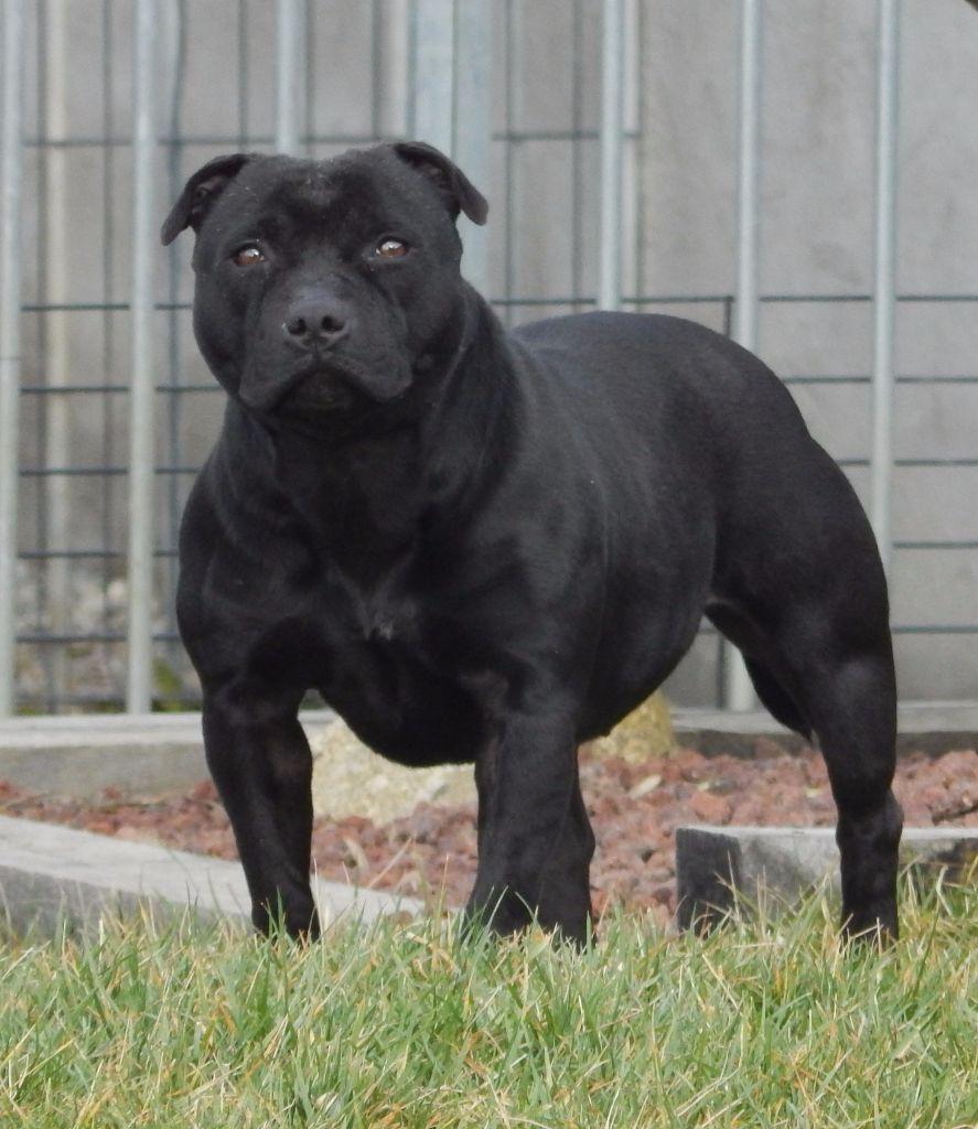 Bull's Eleveur De Blueline Terrier Chiens Staffordshire Accueil Bull 34ARj5Lq