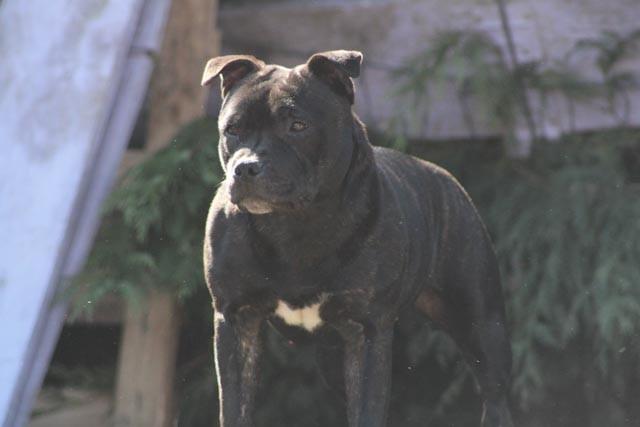 Le Standard de la race Staffordshire Bull Terrier sur Atara.com