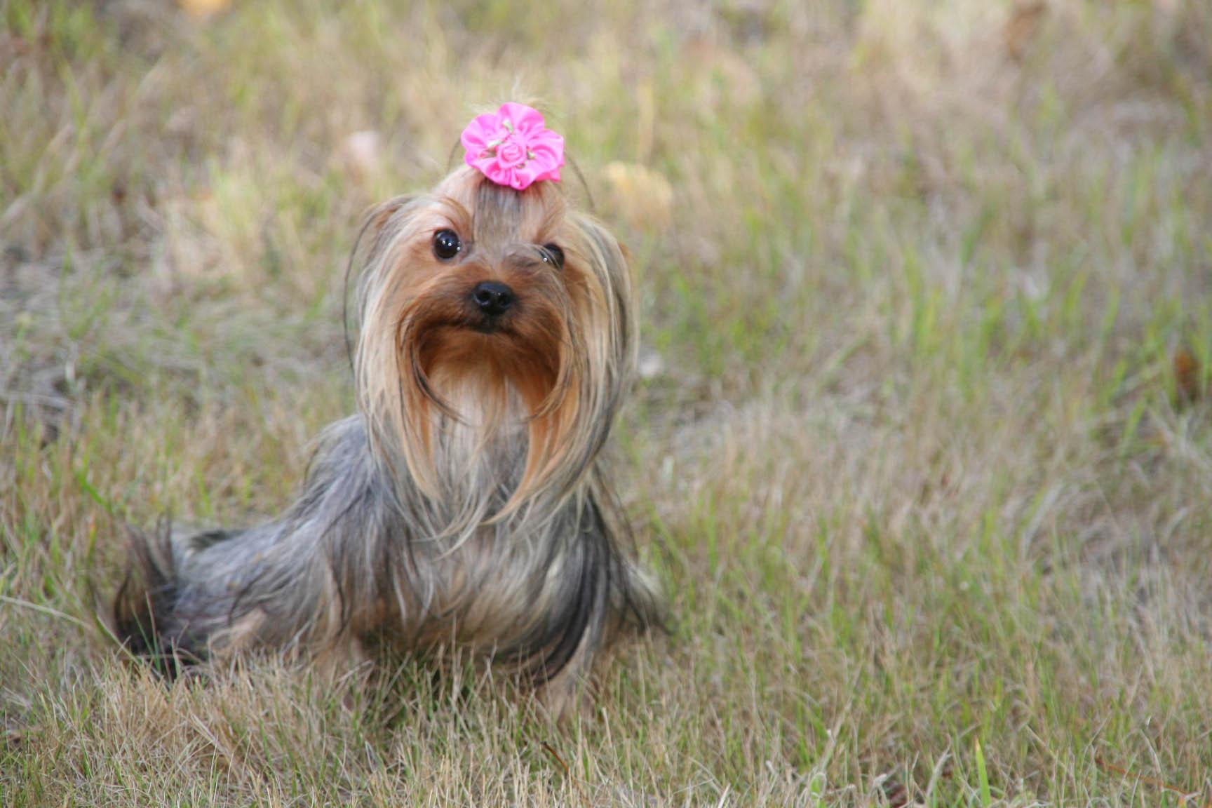 Yorkshire Terrier - Lolita du fief Saint Theau