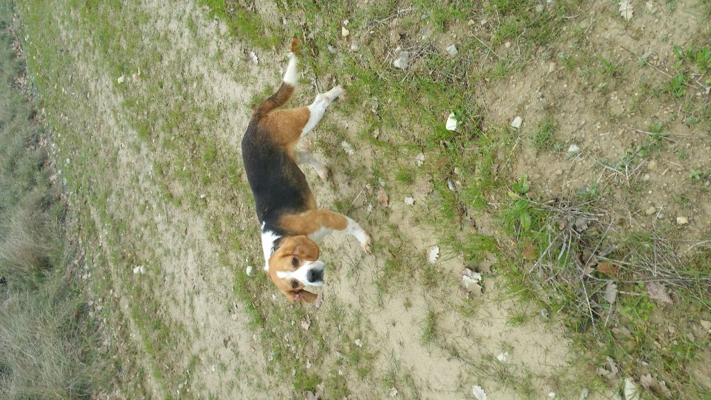 Beagle - CH. Hatos Des bords du gui