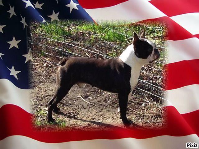 Les Boston Terrier de l'affixe de la Closerie Deval