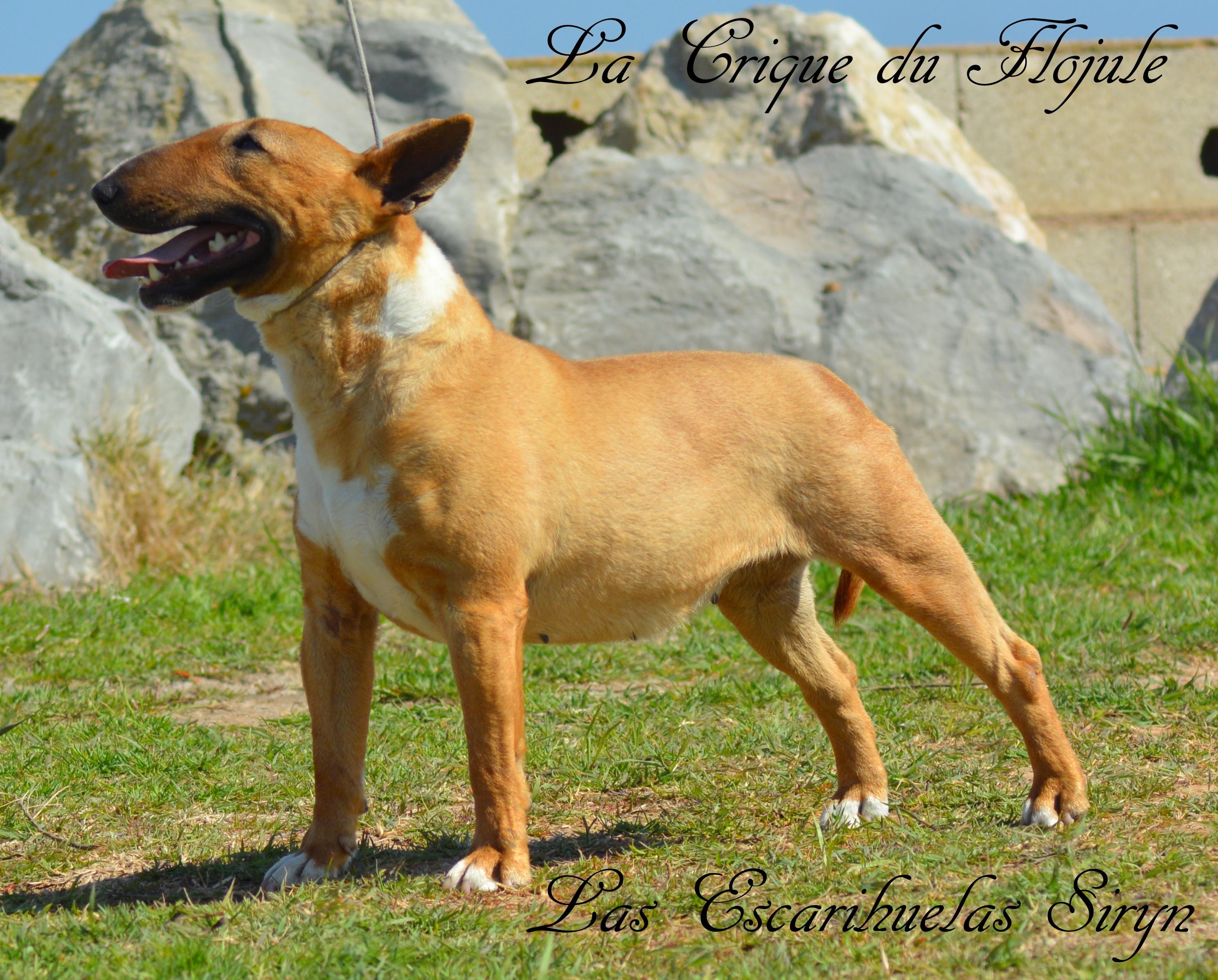Les Bull Terrier Miniature de l'affixe De la crique du Flojule