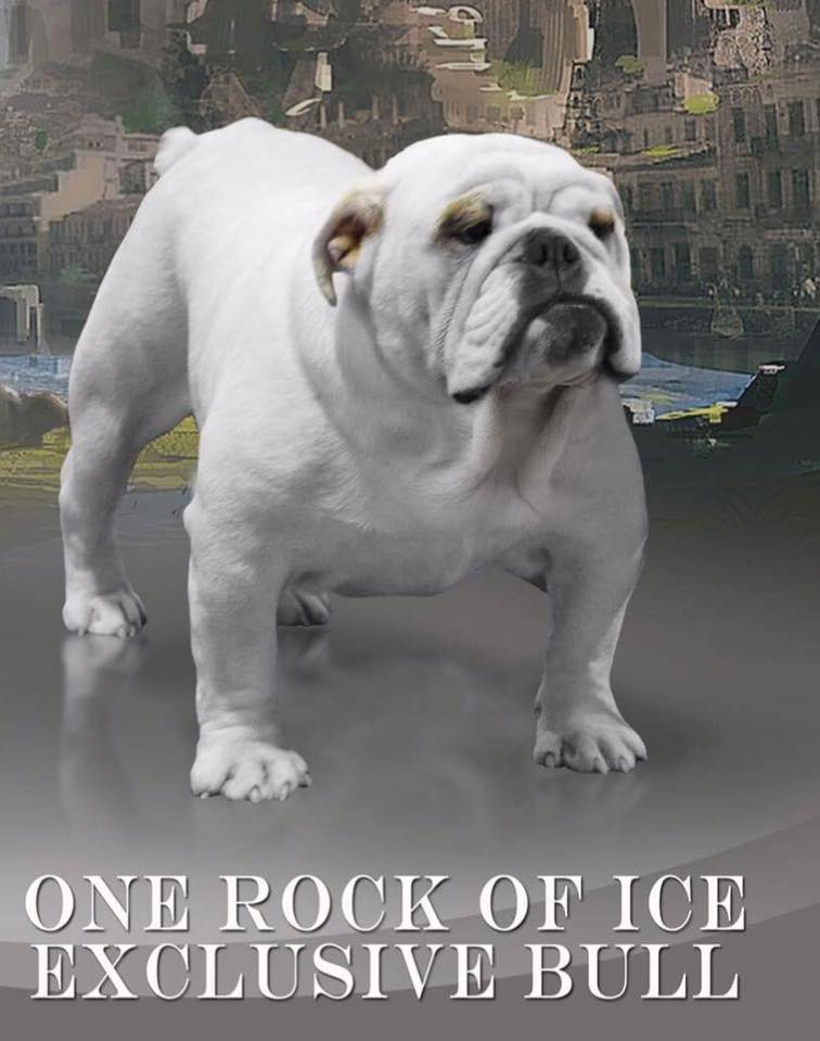 Bulldog Anglais - One rock of ice Exclusive Bull