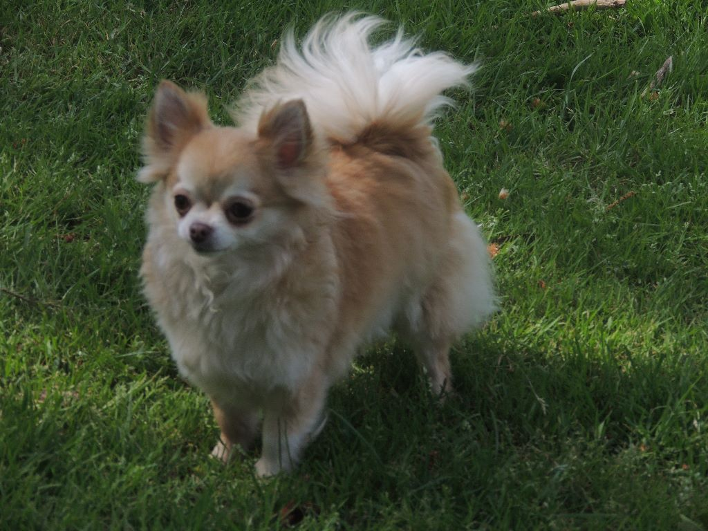 Les Chihuahua de l'affixe du Marl'Hour