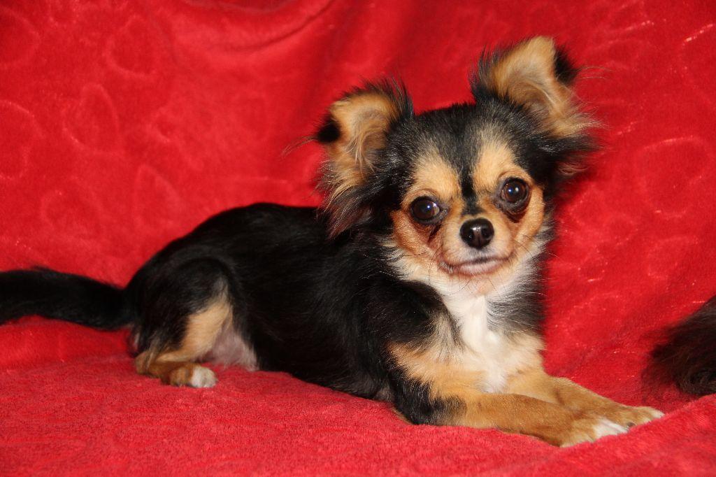 Les Chihuahua de l'affixe Du royaume de Matiliane