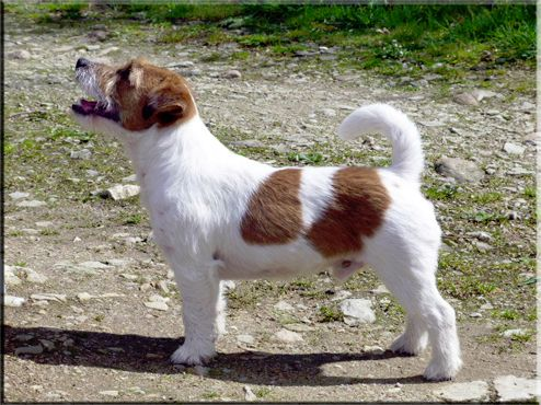 Les Jack Russell Terrier de l'affixe De La Rosée De L'eden